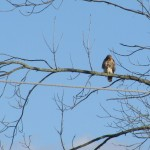 A Redtail hanging out